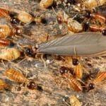 importancia-del-control-de-plagas-de-termitas